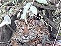 Panthera onca REBIO TAPIRAPE.jpg