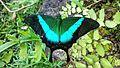 Papilio Budha.jpg