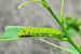 Papilio Polyetes 08062012 (2).jpg