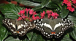 Description de l'image Papilio demodocus (1).jpg.