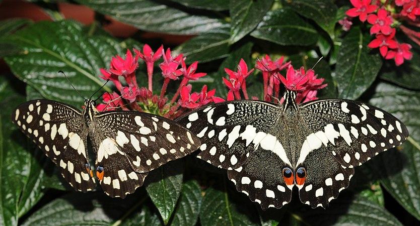 Papilio demodocus (1).jpg