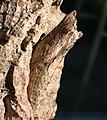 Papilio glaucus.JPG
