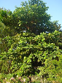 Papra tree Bhopal1
