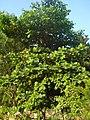 Papra tree Bhopal1.JPG