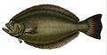 Paralichthys orbignyanus.jpg