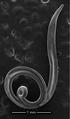 Parasite180153-fig3 Thelazia callipaeda (Nematoda).png