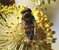 Parasyrphus punctulatus (male) - Flickr - S. Rae (4).jpg