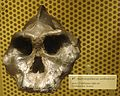 Paraustralopithecus aethiopicus.JPG
