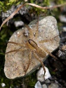 Specie di lycosidae p wikipedia for Koch yamaguchi
