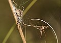 Pareja de arañas (aproximación) - macho y hembra (5055087673).jpg