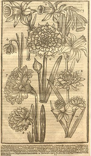 John Parkinson (botanist) - Narcissi, Paradisus Terrestris 1629. 8. Great Double Yellow Spanish Daffodil