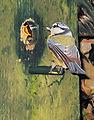Parus caeruleus Pimpelmees voeren jong.jpg