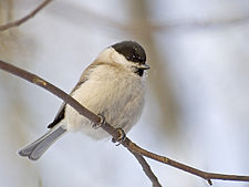 Parus palustris.jpg