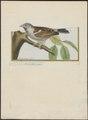 Passer domesticus - 1700-1880 - Print - Iconographia Zoologica - Special Collections University of Amsterdam - UBA01 IZ16000097.tif