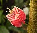 Pavonia strictiflora3 ies.jpg