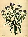 Paxton's flower garden (Plate 97) (9256200130).jpg