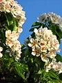 Pear blossom (Pyrus) 12.JPG