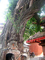 Peepal tree worshiped as god in hindu culture (peepal tree and temple on tree).jpg