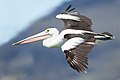 Pelecanus conspicillatus in flight - Marion Bay.jpg