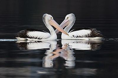 Pelecanus conspicillatus pair swimming.jpg