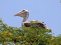 Pelican Living With Humans (2468207319).jpg