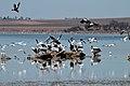Pelicans and Shelducks (24721691742).jpg