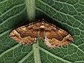 Pelurga comitata - Dark spinach - Ларенция маревая (43072960714).jpg