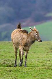 Père David S Deer Female
