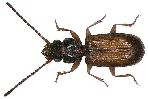 Perileptus areolatus (Creutzer, 1799) (2892215575)