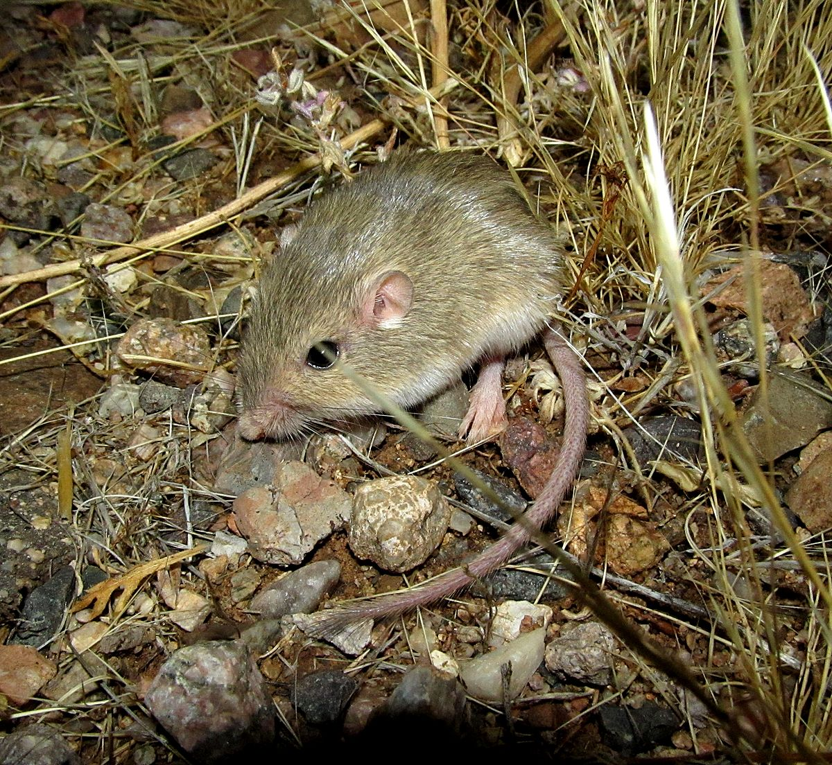Silky pocket mouse - Wikipedia