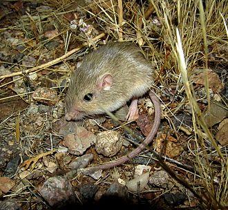 Silky pocket mouse - Image: Perognathus flavus