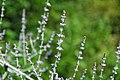 Perovskia atriplicifolia (Russian sage) 5 (49081266086).jpg