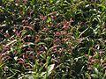 Persicaria hydropiper20140712 082.jpg