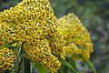 Peru - Trekking from Urubamba 003 - beautiful flowers (8149167716).jpg