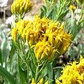 Petradoria pumila ssp pumila 3.jpg