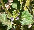 Phacelia anelsonii 7.jpg