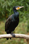 Phalacrocorax carbo Vic.jpg