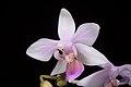 Phalaenopsis equestris (Mindanao, Philippines) (Schauer) Rchb.f., Linnaea 22- 864 (1850) (35301326342).jpg