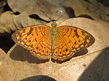 Phalanta alcippe - Small Leopard at Aralam Wildlife sanctuary during Aralam butterfly survey 2020 (16).jpg