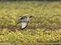 Pheasant-tailed Jacana (Hydrophasianus chirurgus) (28930261817).jpg