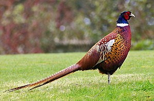 Pheasant - Mongolian ringneck-type common pheasant cock