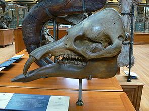 Phiomia serridens Schädel im Muséum national d'Histoire naturelle in Paris