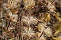 Phlomis lychnitis-Phlomis lychnite-2016070032.jpg