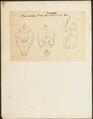 Phoca barbata - schedel - 1700-1880 - Print - Iconographia Zoologica - Special Collections University of Amsterdam - UBA01 IZ21100227.tif