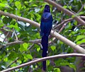 Phoeniculus purpureus 0zz.jpg