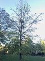 Phoradendron nc oak.jpg