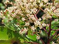 Photinia integrifolia at Mannavan Shola, Anamudi Shola National Park, Kerala (13).jpg