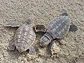Photo of the Week - Loggerhead sea turtle hatchlings at Back Bay National Wildlife Refuge, VA (5343669276).jpg
