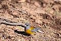 Phrygilus patagonicus -Parque Nacional Altos de Lircay, VII Region del Maule, Chile-6.jpg