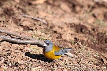 Phrygilus patagonicus -Parque Nacional Altos de Lircay%2C VII Region del Maule%2C Chile-6